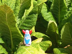 Bozo in tobacco field